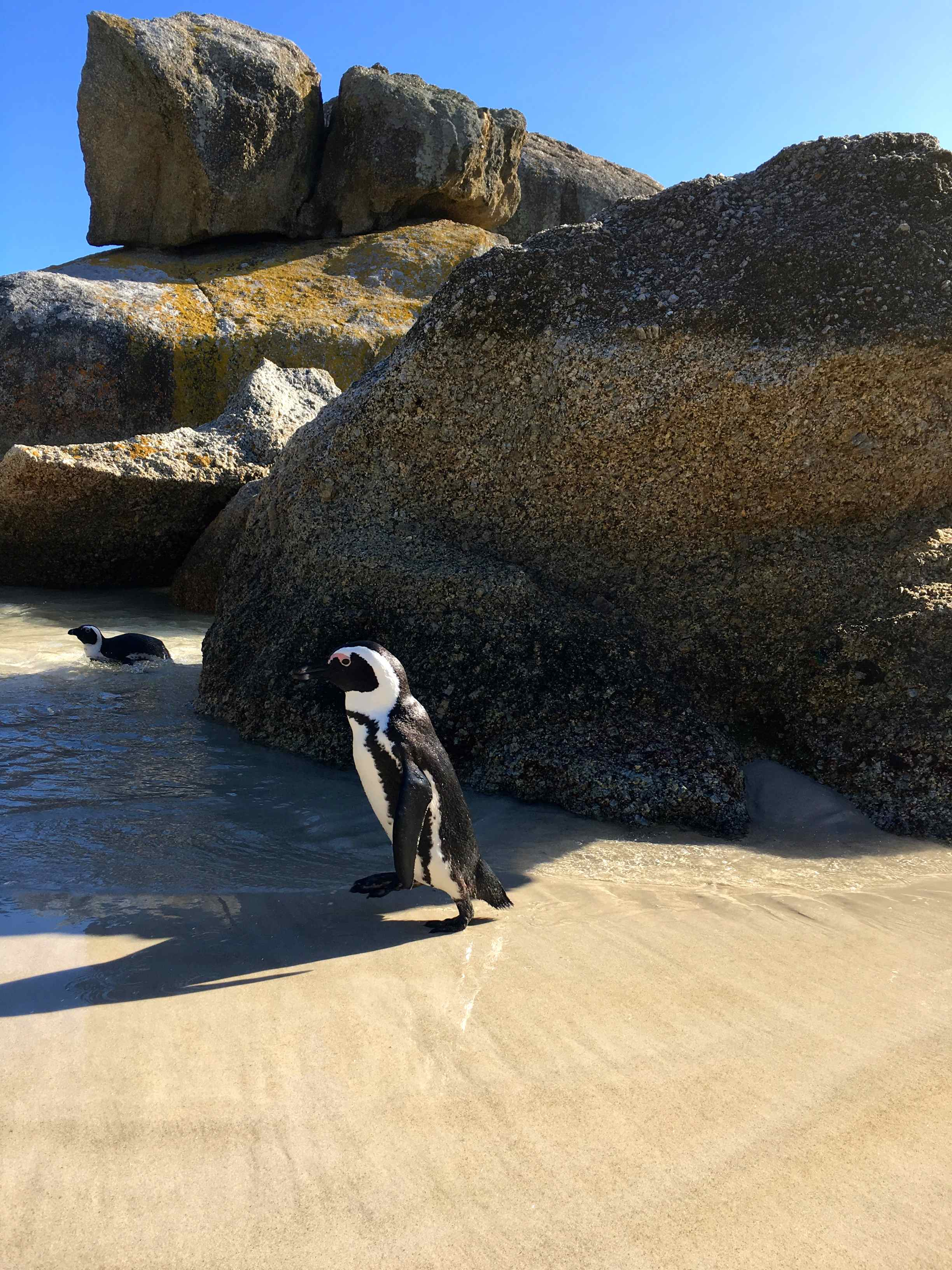 Capetown-Boulders-Beach-Penguins